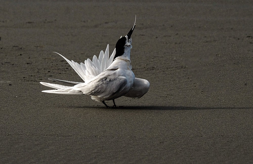 white fronted tern preening - Sterna striata