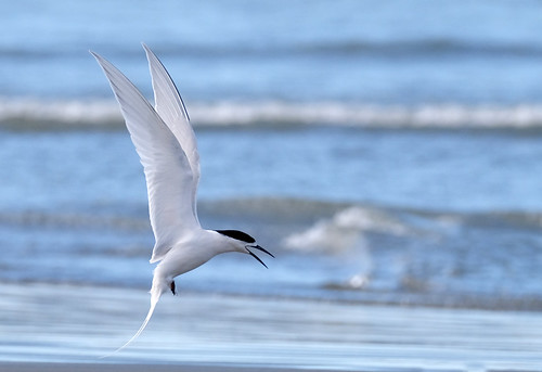 White fronted tern in flight - Sterna striata