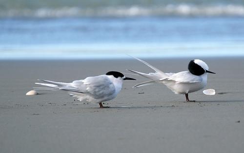 White fronted tern - preening - Sterna striata