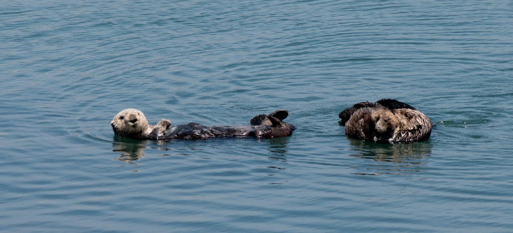 Morro Bay sea otters closeup (#1271)