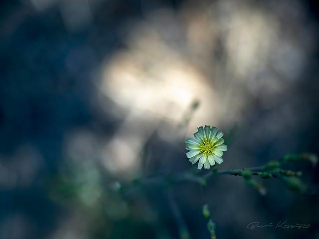 Sarı Çiçek ( Yellow Flower )
