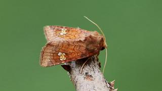 Ear Moth - Amphipoea oculea