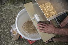 Moliendo el grano