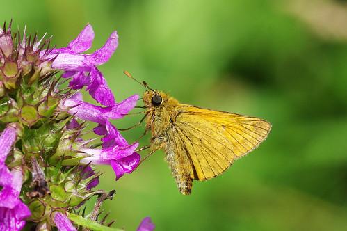 cambridgeshire ochlodessylvanus waresleywood butterfly insect largeskipper nature wild wildlife woodland