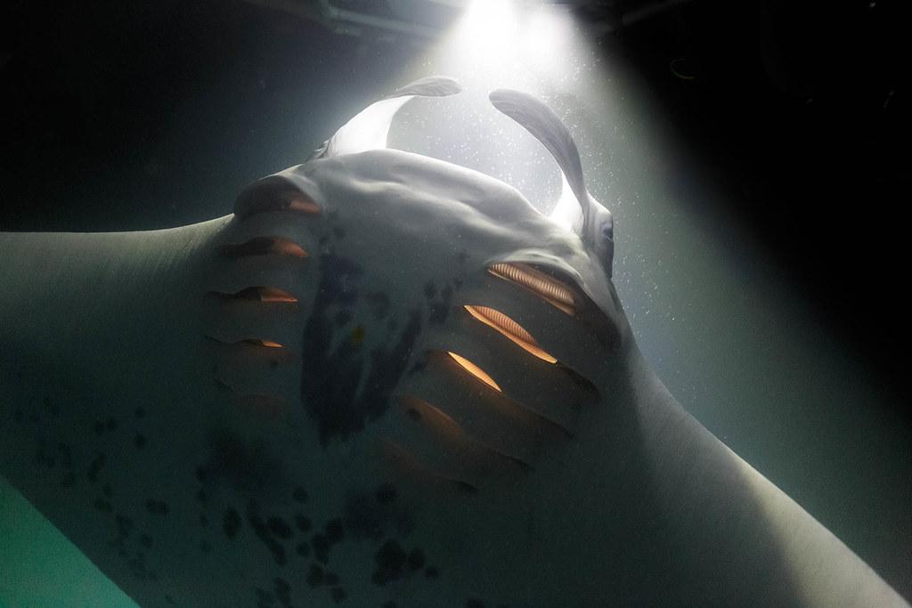 Into the light || Manta snorkelling