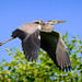 Silver heron