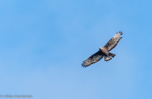 Raptor - Honey Buzzard