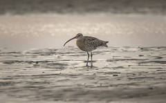 Curlew at sunset