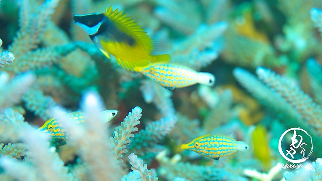 サンゴの間にはテングカワハギ♪かわいい♪