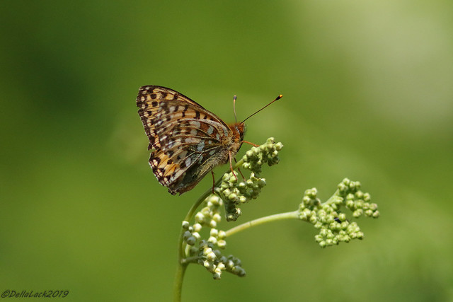 Dark-Green Fritillary (EXPLORED) :-)