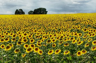 Ubiquitous...the sunflower shot!