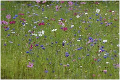 Sweet meadow. HSS