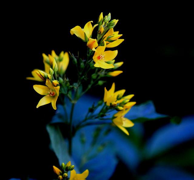 Wild Yellow Loosestrife(Lysimachia vulgaris)