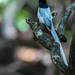 Asian paradise flycatcher male