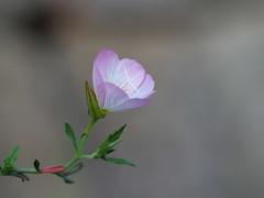 Pink primrose (Oenothera speciosa, ヒルザキツキミソウ)
