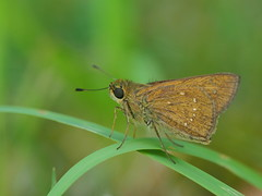 Small branded swift butterfly (Pelopidas mathias, チャバネセセリ)
