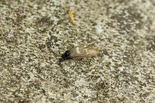 8.001 Incurvaria pectinea, Rinabaich, Aberdeenshire