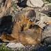 IMG_7927 yellow bellied marmot