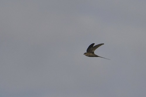 Martinet des palmes/Palm Swift