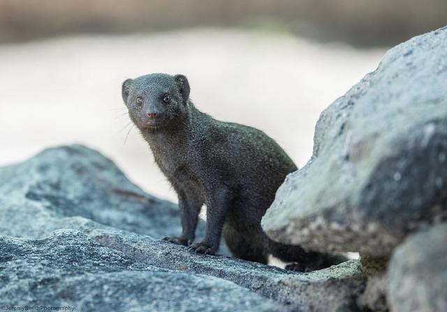 Dwarf Mongoose (explored), Helogale parvula, Hwange National Park, Zimbabwe