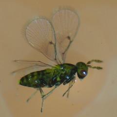 Chaetostricha spp.