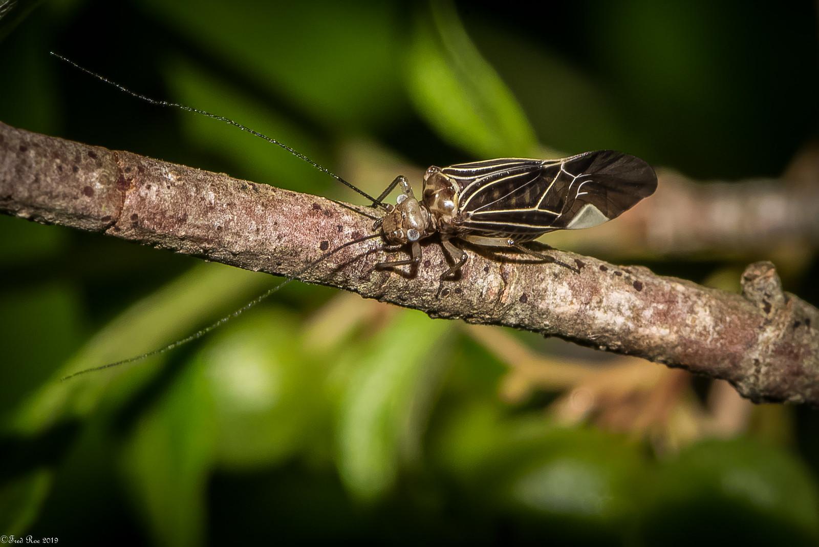 Common Bark Louse [Cerastipsocus venosus]