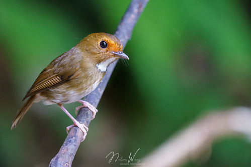 Rufous-browed Flycatcher (Anthipes solitaris) 棕眉姬鶲