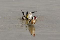 Chardonneret elegant - European Goldfinch - lac de Créteil - Val de Marne - 94 255A0384