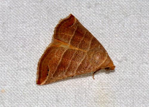 ecosystem/fauna/Erebid Moth(Eublemma baccalix)