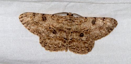 ecosystem/fauna/Geometrid Moth(Hypomecis infixaria)