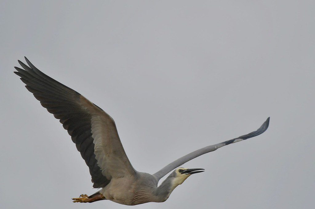 White-faced Heron ( a close call)