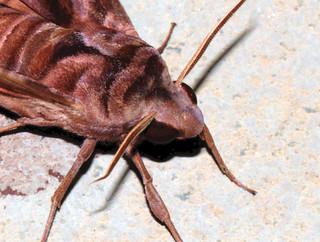 ecosystem/fauna/Rosy Forest Hawkmoth(Acosmeryx anceus subdendata)