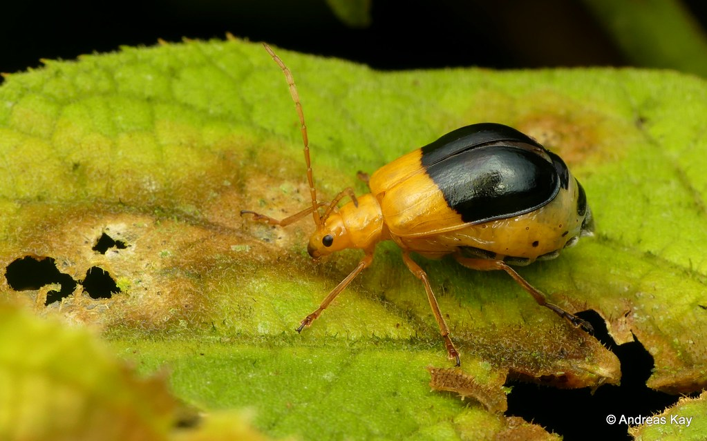 Leaf Beetle, Isotes sp.?