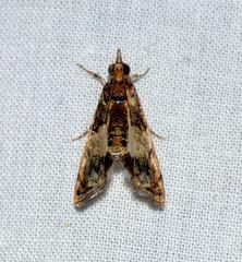 ecosystem/fauna/Crambid Moth(Noorda blitealis)