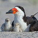 Black Skimmer with chicks