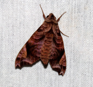 ecosystem/fauna/Rosy Forest Hawkmoth(Acosmeryx anceus subdentata)