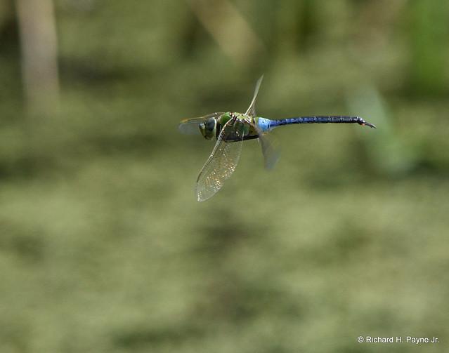 Male Common Green Darner_7033_00001-001