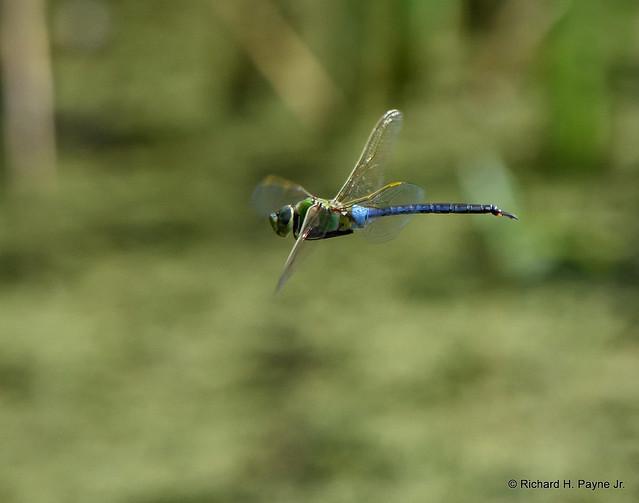 Male Common Green Darner_7031_00001-001