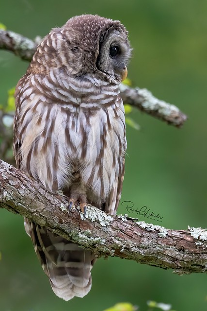 Barred Owl - Strix varia | 2019 - 23