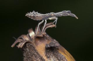 Coreidae sp. nymph