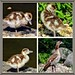 Egyptian goose with your offspring!
