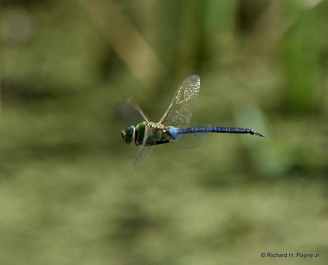 Male Common Green Darner_7030_00001-001