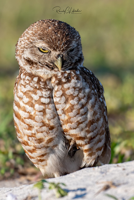 Burrowing Owl - Athene cunicularia | 2019 - 21