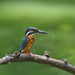 Kingfisher 190818002.jpg