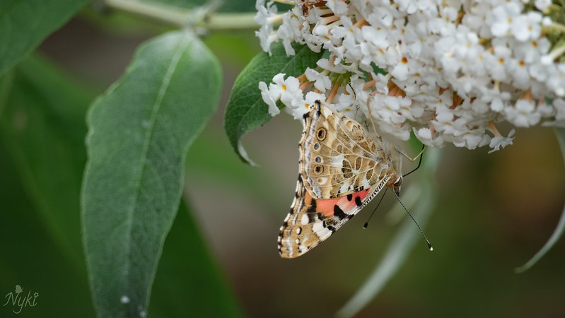 Butterflies on our Buddleia