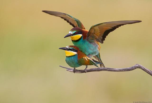 Bee-eaters, La Mancha, Spain