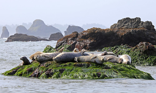 Harbor seals on surf grass, Trinidad Bay