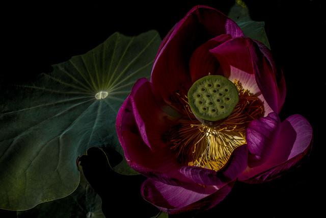 Yimang Red Lotus