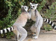ringtailed lemur Apenheul 094A0231