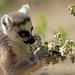 ringtailed lemur Apenheul 094A0291